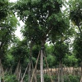 2米高精品腊肠树