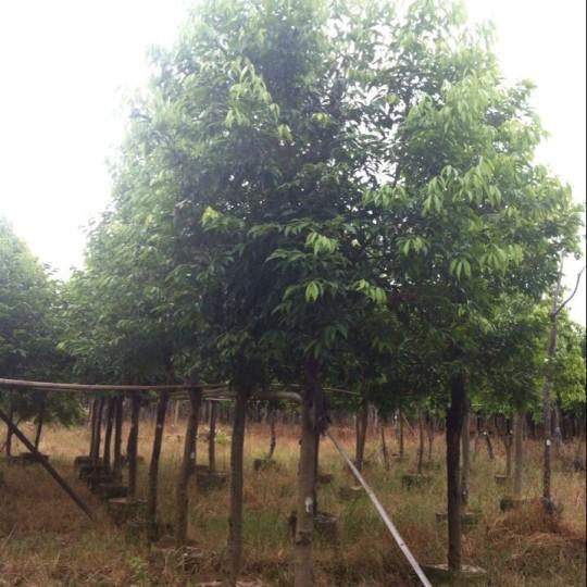 优质天竺桂7米高