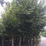 5米高泡桐价格450元 批发梧桐树