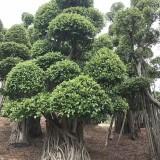 榕树桩7米高