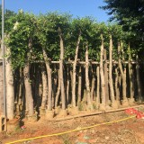 优质小叶榕5米高