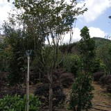 红枫2米高