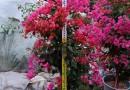 红花勒杜鹃,红花三角梅,红花九重葛,大量批发供应