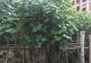 黄槿8到18公分