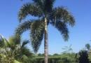 狐尾椰子5米高批发价格