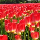 荷兰正品进口郁金香种球