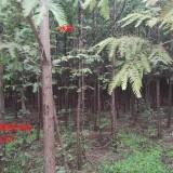 米径4-15公分水杉多少钱 水杉哪里有卖