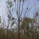 13公分楸树(带土球)
