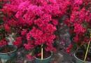 三角梅盆栽