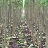 8公分楸树(带土球)