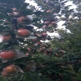 1-3公分苹果苗