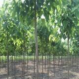 6公分梓树