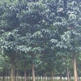 9公分梓树(带土球)