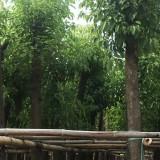 12公分香樟树哪里有 12公分骨架香樟价格