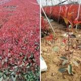 红叶石楠容器苗