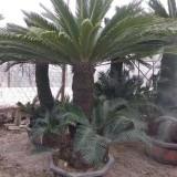 苏铁   铁树