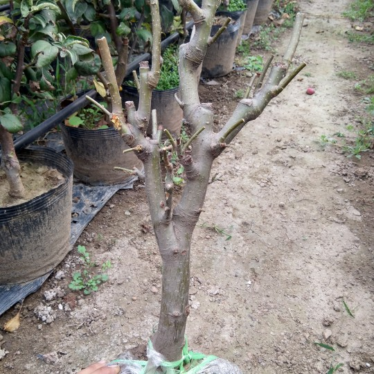 苹果盆栽苗