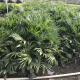 高度30-50公分蒲葵
