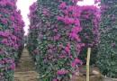 紫色三角梅柱
