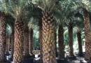 福建基地直销中东海枣、银海枣杆高4米价格