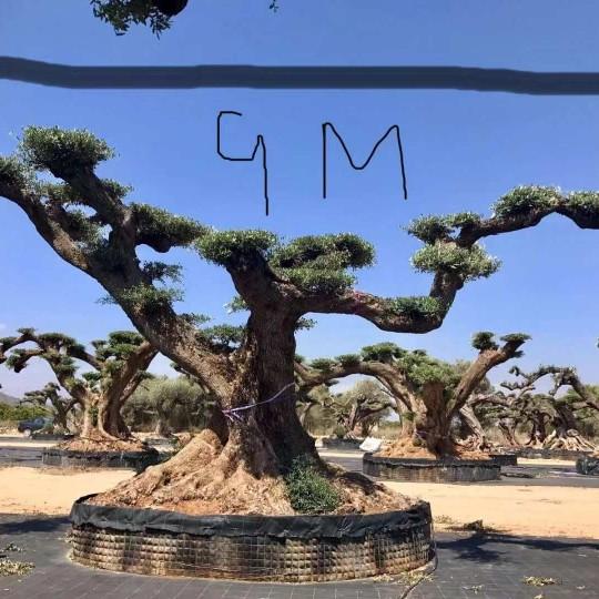 西班牙橄榄树
