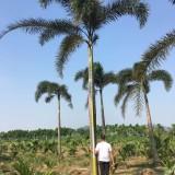 6米狐尾椰子价格1100元