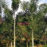 狐尾椰子杆高400地径40冠350价格680