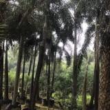 漳州基地直销杆高3-7米高狐尾椰子 狐尾椰子价格