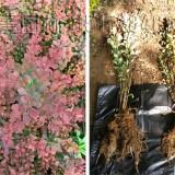 红叶小檗(红叶小波)