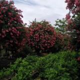3-25公分红花紫薇价格