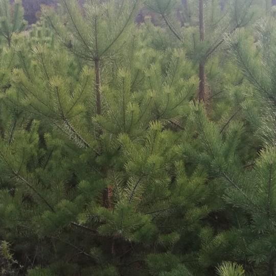 绿化樟子松