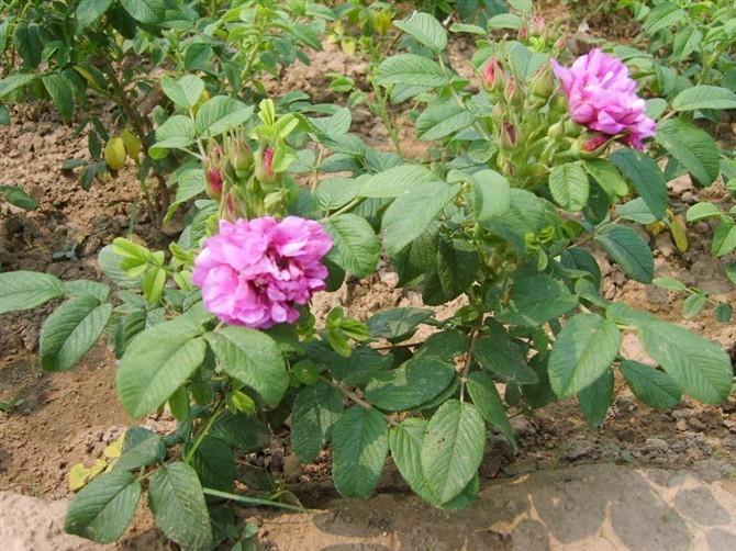 食用玫瑰苗 平阴一号 丰花一号 嫁接玫瑰