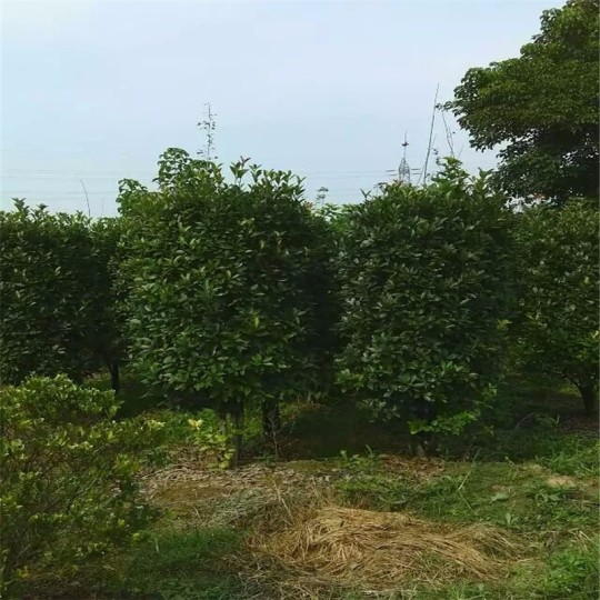 大叶黄杨柱