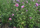高1米2以上丛生红花木槿