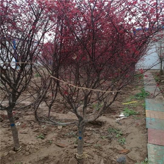 5公分红枫