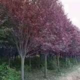 6公分紫叶李
