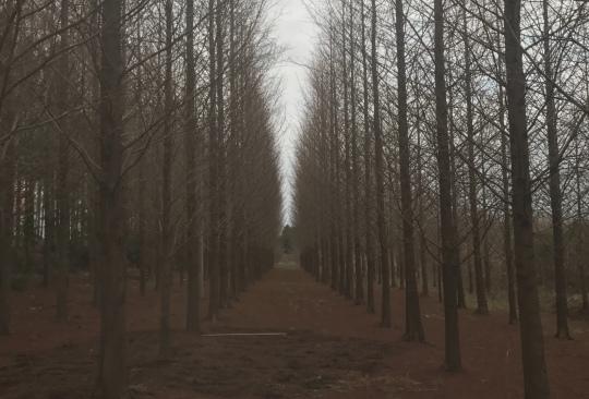 12公分水杉
