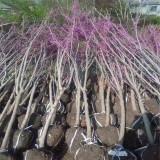 4公分紫荆树