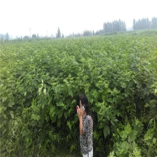 1.5米高构树苗