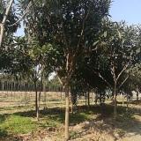 地径5公分枇杷树