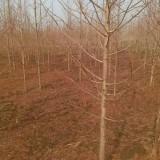 5公分金叶水杉