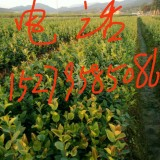 高产油茶苗