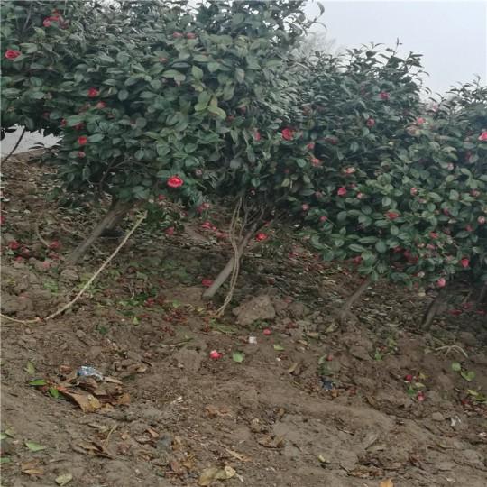 2公分茶花树
