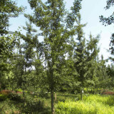 5公分白果树