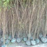 丛生花石榴(冠幅120)