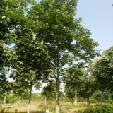 12-26公分大规格七叶树