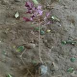 40公分红花继木