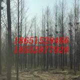 8公分水杉树