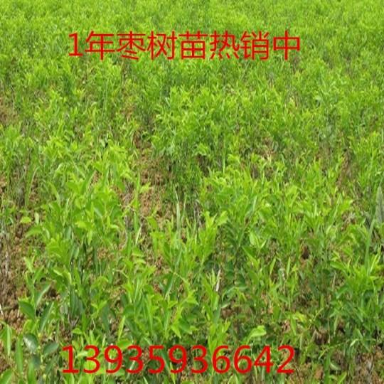 供应枣树苗,枣树基地
