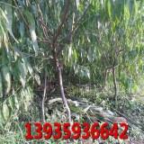 山西3公分以上的桃树